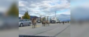 BIGHORN SHEEP BC