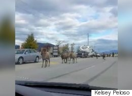 A Bunch Of Bighorn Sheep Caused A Traffic Jam In B.C.