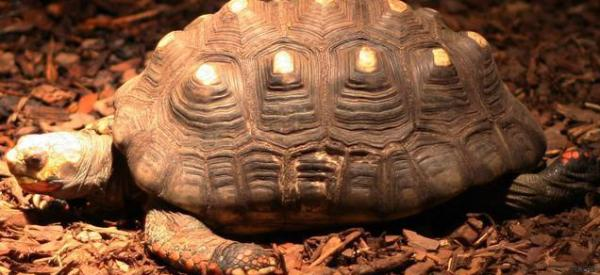 Tartaruga persa nel 1982 ritrovata viva in soffitta