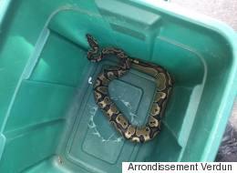 Un mois plus tard, le python de Verdun est retrouvé