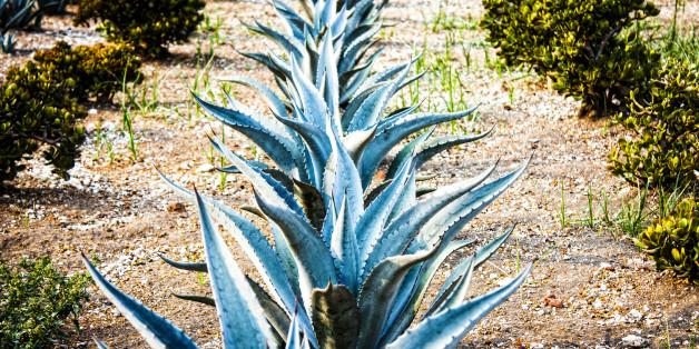 blaue agave