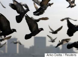 Un pigeon en détention pour une lettre de menaces
