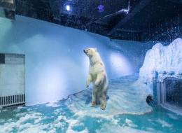 يعشق الجليد!.. شاهد ما فعله صغير الدب القطبي حينما رأى إناءً به ثلج