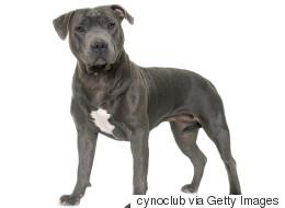 La Ville de Montréal sera entendue en Cour d'appel au sujet de la suspension du règlement sur les pitbulls