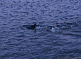 Six dauphins rescapés d'une baie peu profonde du Nouveau Brunswick