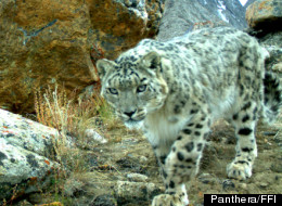 PHOTOS: Rare Snow Leopard Caught On Camera In Tajikistan