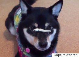 Cet adorable chien a un talent fou
