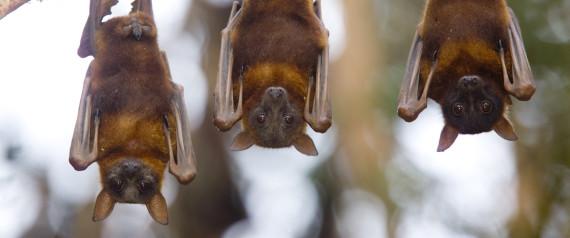 BATS CHIROPTERA