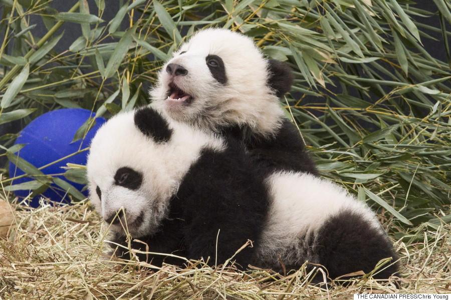 toronto pandas