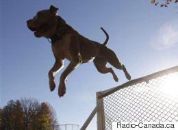 Suspension du règlement sur les chiens de type pitbull : la Ville de Montréal fera appel demain