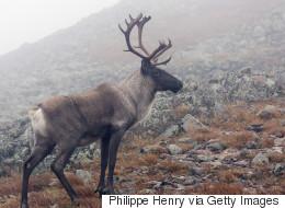 «Déclin troublant» des hardes de caribous au Canada
