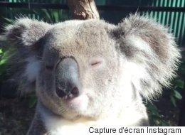 Ce koala vit l'instant parfait