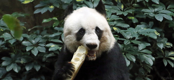 Addio a Jia Jia, il panda più vecchio del mondo