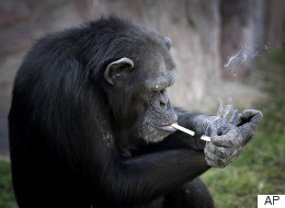 Smoking Chimp Is The Star Of North Korea's New Zoo