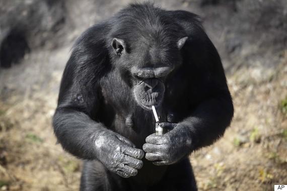 azalea chimpanzee