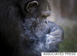 Ce singe nord-coréen fume un paquet par jour
