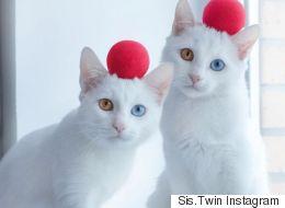 Les deux plus belles jumelles (chattes) du monde