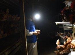 «Elles se font dévorer vivantes»: ce que j'ai vu dans une ferme de poules sans cages