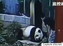 On ne réveille pas un panda géant endormi