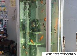 일본에는 전화박스 속을 헤엄치는 금붕어가 있다