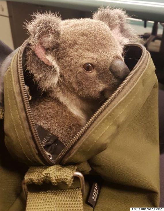 australia police koala