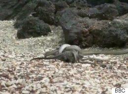 Ce bébé iguane chassé par une centaine de serpents est le meilleur moment télé de l'année
