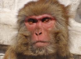 Des singes retrouvent le contrôle de leurs membres paralysés