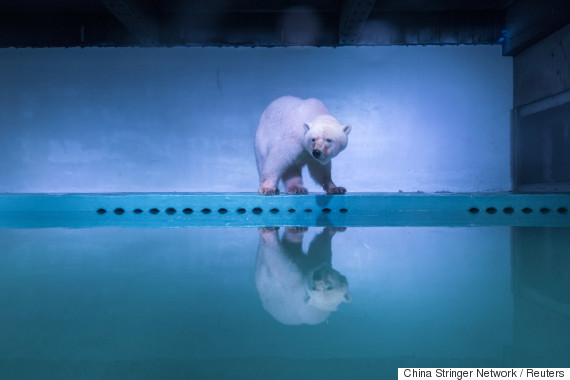 china polar bear
