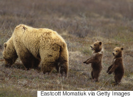 Bad Momma Grizzlies Quickly Corrupt Their Adorable Offspring: Study