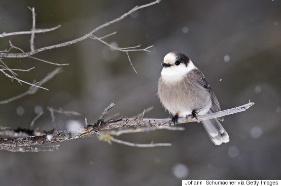 The gray jay is Canada's new national bird