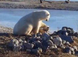 Cet ours polaire fera fondre votre coeur (VIDÉO)