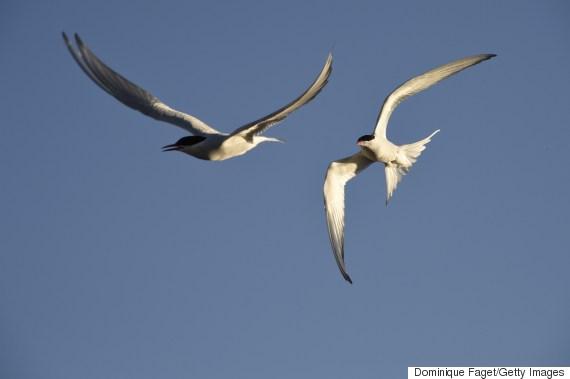 arctic seabird