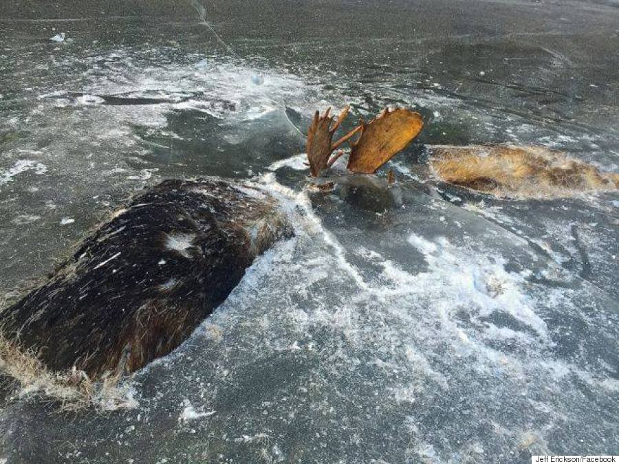 alaska moose frozen