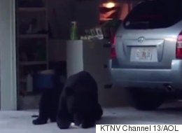 Bear Succumbs To His Craving For Cake And Ice Cream Just Like Humans