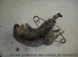 Deux chats retrouvés dans des pièges illégaux à Sherbrooke