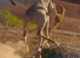 Cette girafe qui envoie valser une lionne affamée inspire les internautes