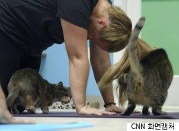 미국 전역을 휩쓰는 '고양이 요가'는 인간과 고양이 모두에게 기쁨이다(영상)
