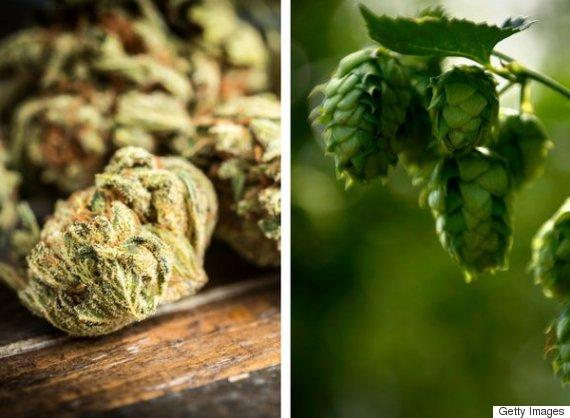 marijuana hops