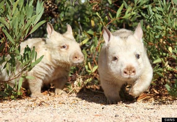 White Wombat, Albino Southern Hairy-Nosed Marsupial ...