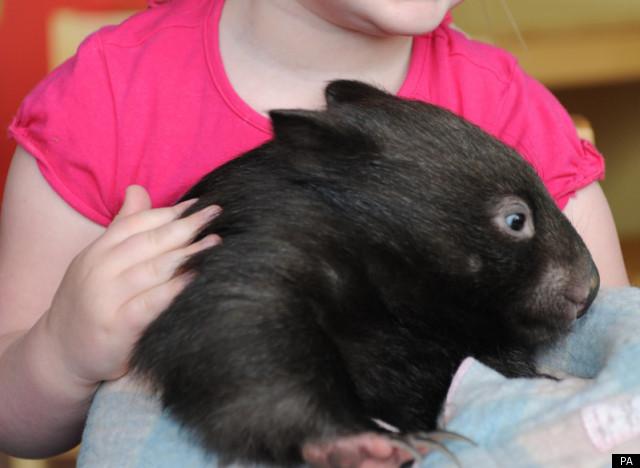 Albino wombat - photo#21