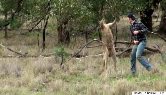 kangaroo punch video