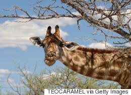 Une girafe donne naissance en direct sur internet