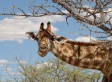 La girafe pourrait disparaître