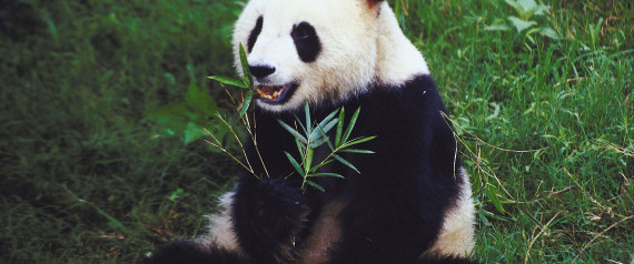 le panda g ant menac par son isolement montagneux. Black Bedroom Furniture Sets. Home Design Ideas
