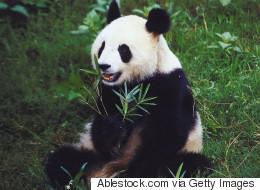 Voici pourquoi le panda géant est menacé