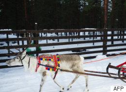 Même les rennes du Père Noël sont victimes du réchauffement climatique