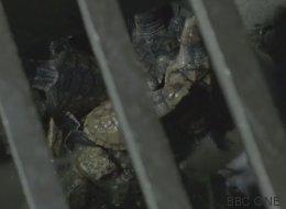 Les équipes de tournage de la BBC ont pu sauver des bébés tortues