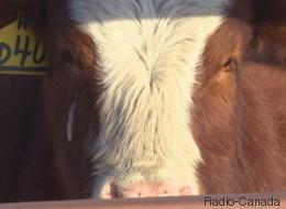 Industrie bovine: quand le prix du bétail et celui de l'épicerie diffèrent