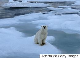 북극곰은 북극의 굶주린 기후 난민이다
