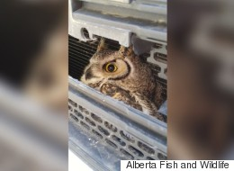Hardy Alberta Owl Gives No Hoots About Collision With SUV
